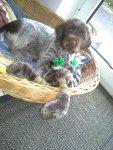 Bayka vom Hirschber, 9 Wochen alt